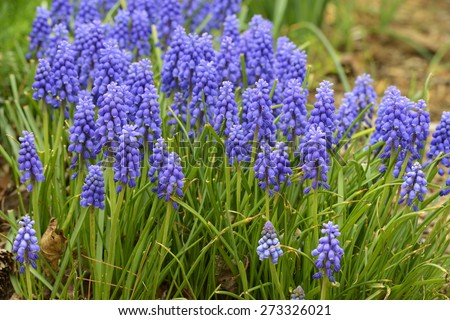 Bluebell Flowers in Bloom in Spring - stock photo