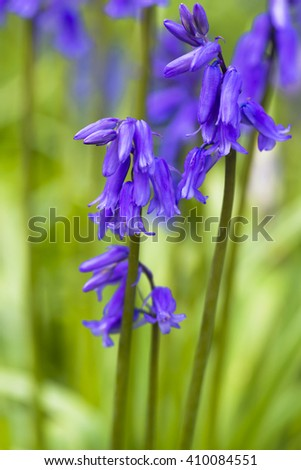 Bluebell flowers in spring forest - closeup