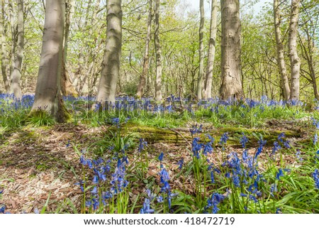 Bluebell Flowers Meadow Among Old Maple Trees - stock photo