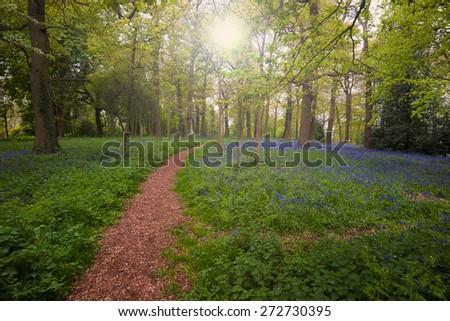 bluebell wood ,England - stock photo