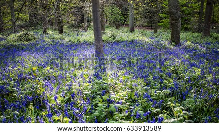 Bluebell wood with sunlight streaming through the trees