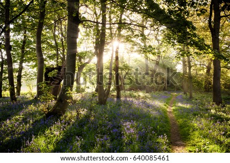Bluebell woodland path with beautiful sunrise through the trees and shafts of light