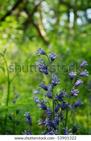 Bluebell woods - stock photo