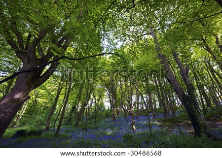 bluebells and trees in Courtmacsherry Woods, Co. Cork, Ireland