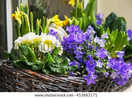 Bluebells and yellow daffodils in the wicker basket. Symbol of springtime. Gardening theme. Natural decoration. Vibrant colors. - stock photo