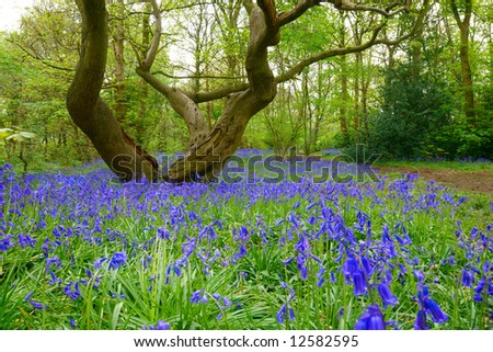 Bluebells in green field. Typical springtime scene in English woodland. - stock photo