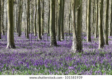 bluebells in woods in England in Spring - stock photo