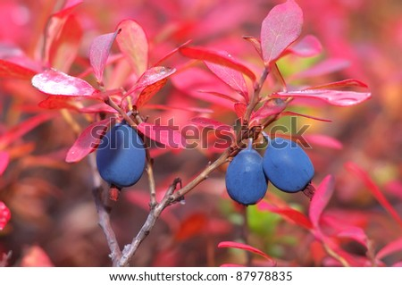 Blueberries grow in Siberia before the onset of cold weather. - stock photo