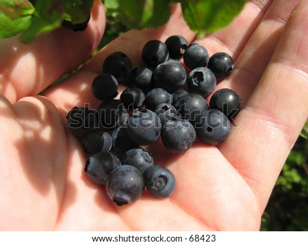 Blueberries in a hand. - stock photo
