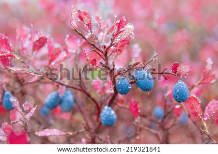 Blueberries in raindrops - stock photo