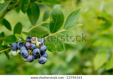 Blueberries on the bush - stock photo