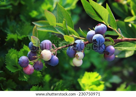 blueberries plant - stock photo