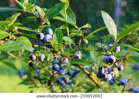 Blueberries ripening on the bush - stock photo
