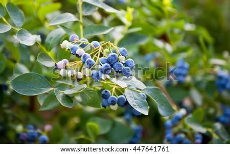 Blueberries ripening on the bush. Shrub of blueberries. - stock photo