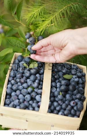 Blueberries - woman picking fresh blueberries in the garden - stock photo