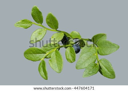 blueberry branch with black berries on a light background - stock photo