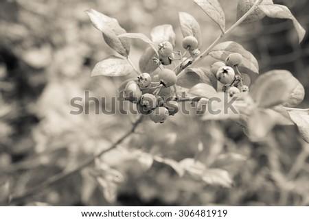 Blueberry bush - stock photo