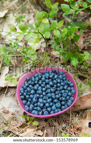 Blueberry bush with pink container picked fruit