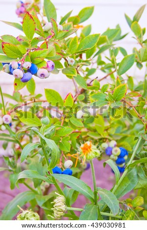 Blueberry bushes in a garden in early summer - stock photo