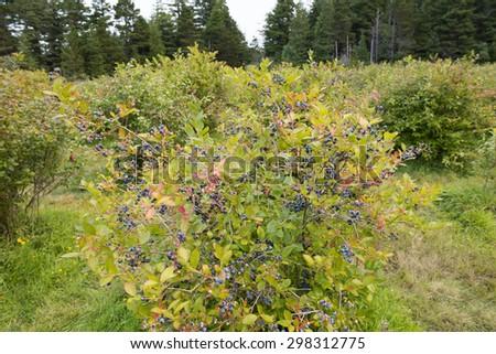 Blueberry farm with fruit ripe on the bush. - stock photo