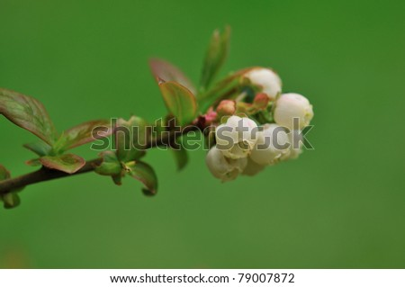 Blueberry flowers with green background