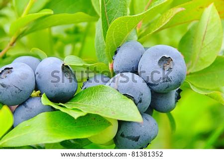 blueberry on shrub - stock photo