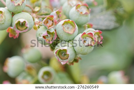 Blueberry plant growing naturally as a symbol of healthy eating concept as a blue berry nature icon of a health focused lifestyle with fresh organic berry fruit that is high in antioxidants. - stock photo