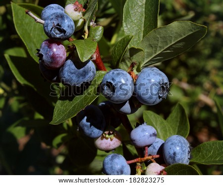 Blueberry plant growing naturaly as a symbol of healthy eating concept as a blue berry nature icon of a health focused lifestyle with fresh organic berry fruit that is high in antioxidants. - stock photo