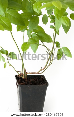 blueberry plant with pot and roots - stock photo