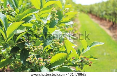 Blueberry plants grow in early summer - stock photo