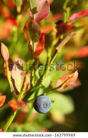 Blueberry (Vaccinium myrtillus) - stock photo