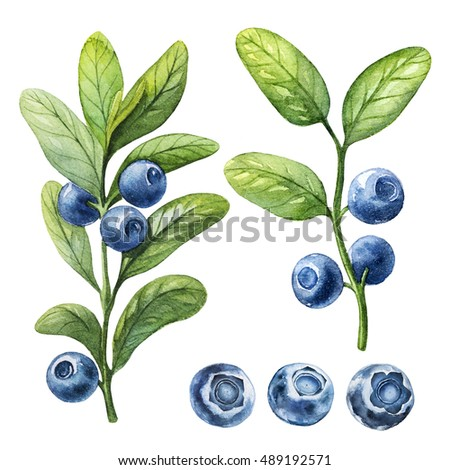Blueberry. Watercolor botanical illustration.