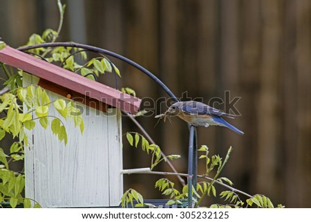 Bluebird brings food to her babies at a birdhouse. - stock photo