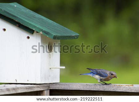 Bluebird eating meal worms near his house. - stock photo