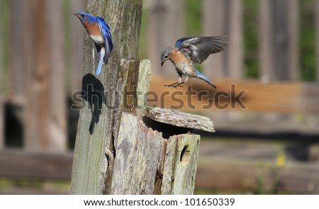 Bluebird flying around the nest - stock photo