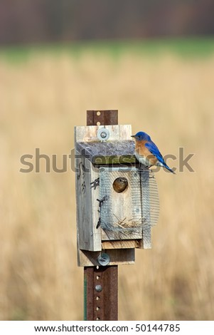 Bluebird inside and outside nesting box - stock photo