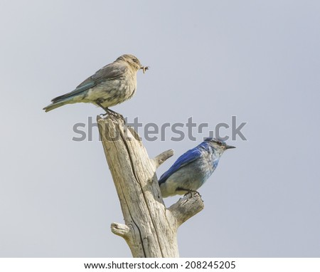 Bluebird Pair Resting - A male and female bluebird take a rest from their intense task of feeding their newborn chicks. Dillon, Colorado. - stock photo