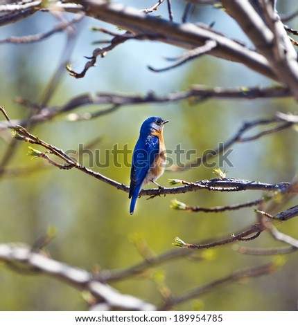 Bluebird perched on a tree branch in Spring - stock photo