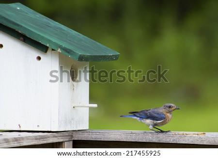 Bluebird resting near his house. - stock photo