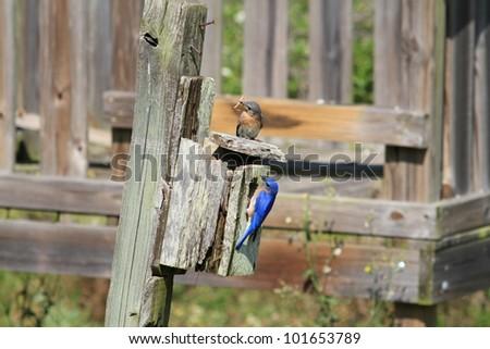 Bluebirds tending the new nest - stock photo
