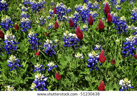 Bluebonnets and Crimson Clover Horizontal - stock photo