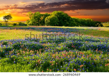Bluebonnets and Indian paintbrushes in late afternoon light - stock photo
