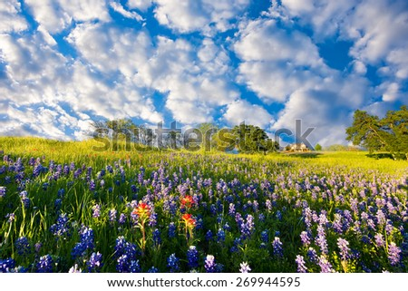Bluebonnets and Indian paintbrushes on display in rural Texas on a sunny spring afternoon - stock photo