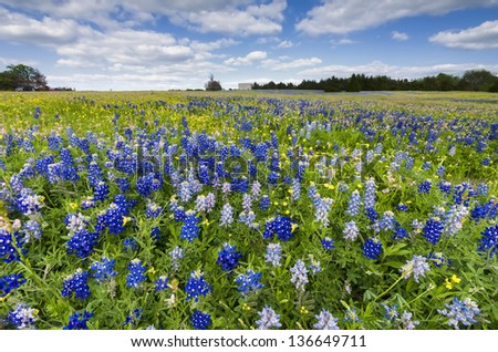 Bluebonnets and sunflowers bathed in late afternoon Texas sunlight - stock photo