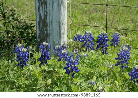 Bluebonnets growing in front of a fence post - stock photo