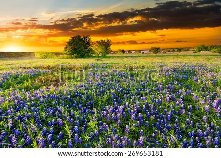 Bluebonnets  in early morning light - stock photo