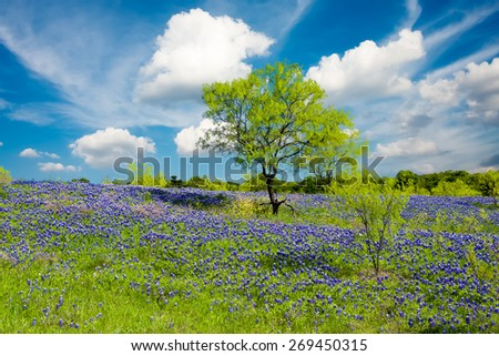 Bluebonnets on display in rural Texas on a sunny spring afternoon - stock photo