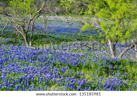 Bluebonnets, the state flower of Texas, blooming in the spring - stock photo