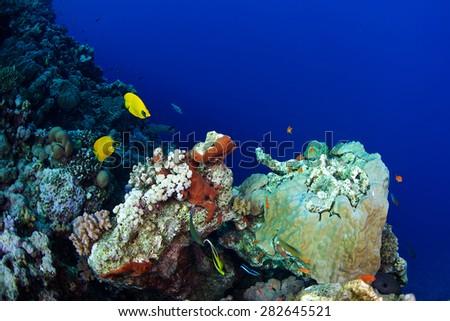 Bluecheek butterflyfish (Chaetodon semilarvatus) of Red Sea, Sudan. - stock photo