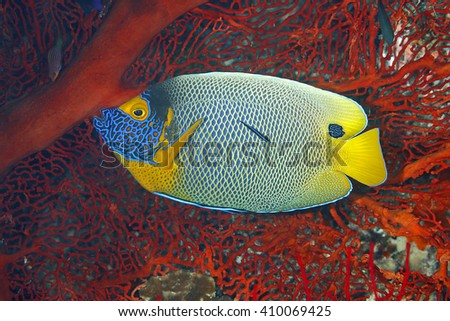 Blueface Angelfish, Pomacanthus xanthometopon. Also known as Yellowface Angelfish. Being cleaned by a Blue Streak Cleaner Wrasse, Labroides dimidiatus. Uepi, Solomon Islands.